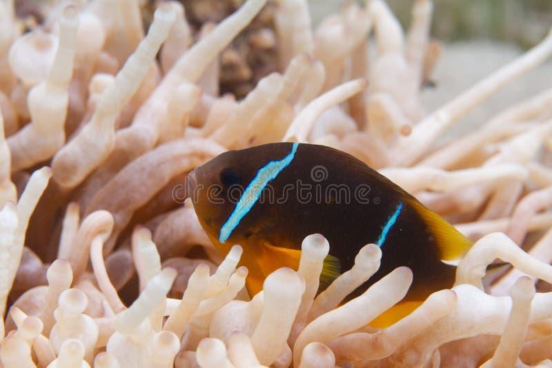 银莲花属的红海Anemonefish 免版税库存照片