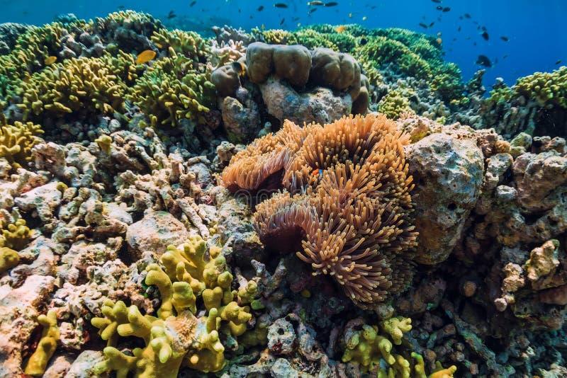 银莲花属的鱼小丑 与珊瑚礁的水中 库存照片