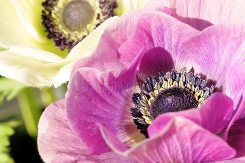 银莲花属结束白色的紫色 免版税库存图片