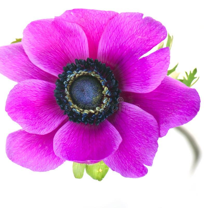 银莲花属美好的花紫色 免版税库存照片