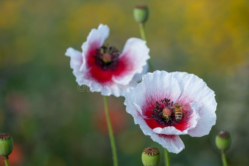 银莲花属花卉生长在五颜六色的野花的领域,拍摄在清早太阳在Gunnersbury,西部伦敦英国 库存图片