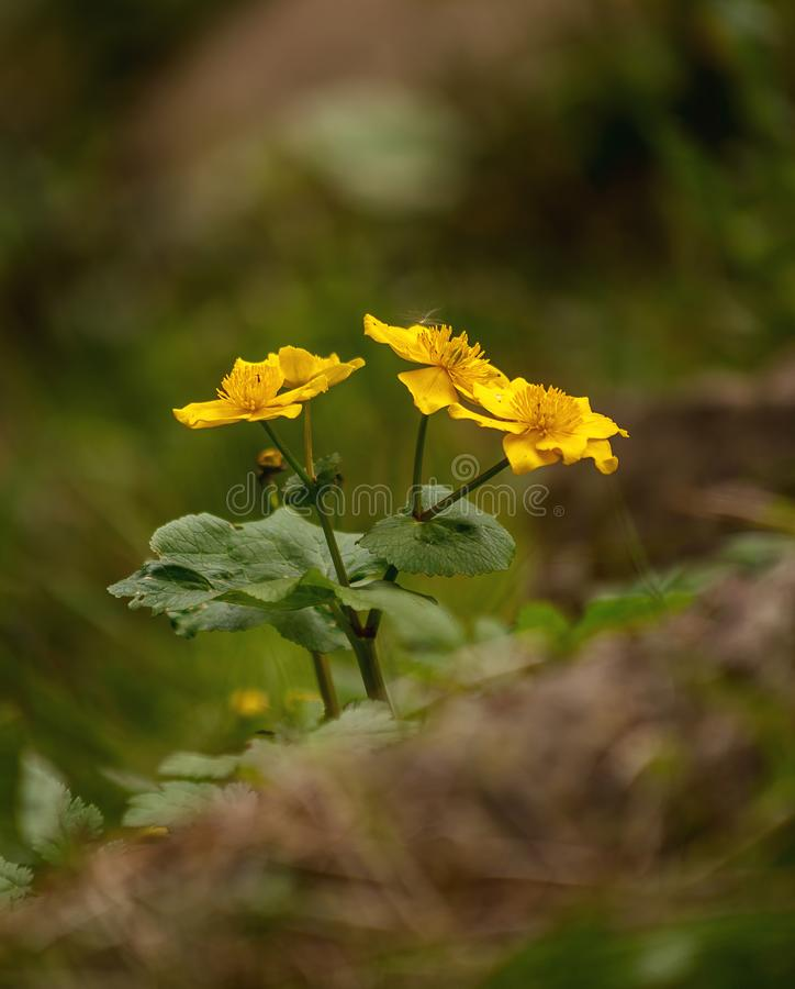 银莲花属花束在森林里 库存照片