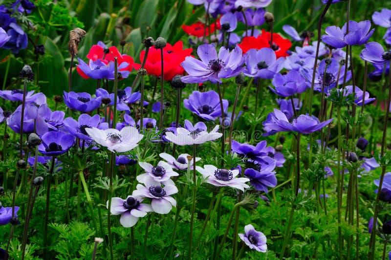 银莲花属花的领域 库存图片