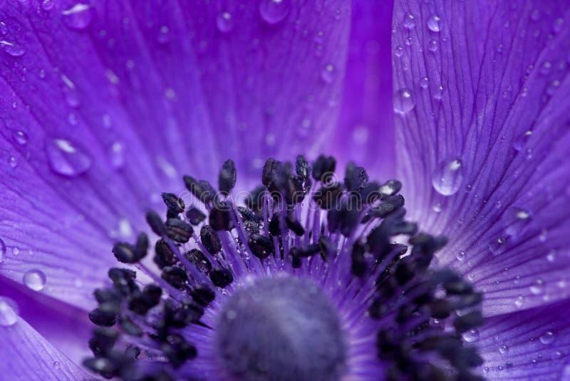 银莲花属花紫色 库存图片