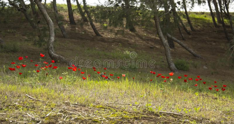 银莲花属领域在森林里 图库摄影