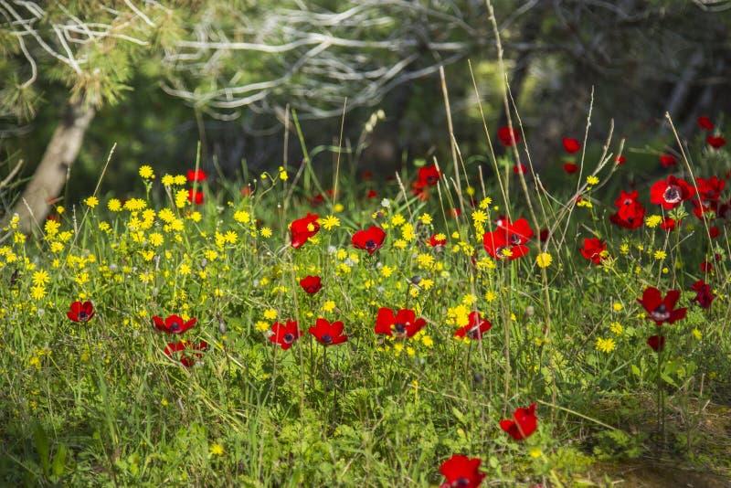 银莲花属领域在森林里 库存照片