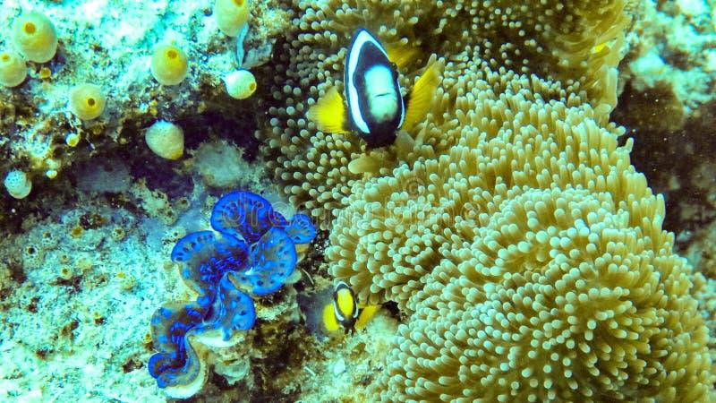 银莲花属鱼和在马尔代夫 库存照片