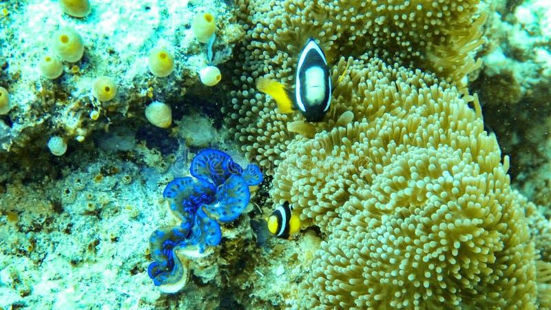 银莲花属鱼和在马尔代夫 免版税库存照片