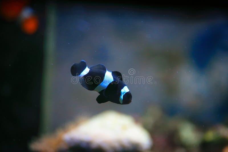 银莲花属鱼 库存照片