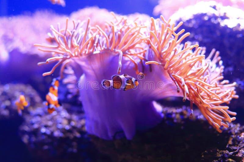 银莲花属鱼 库存图片