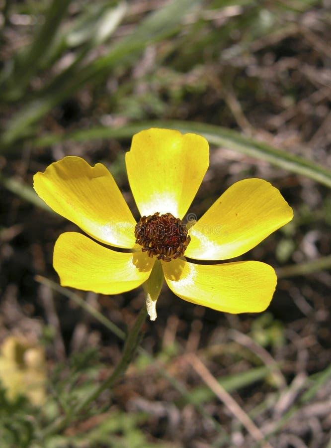 银莲花属黄色 库存照片