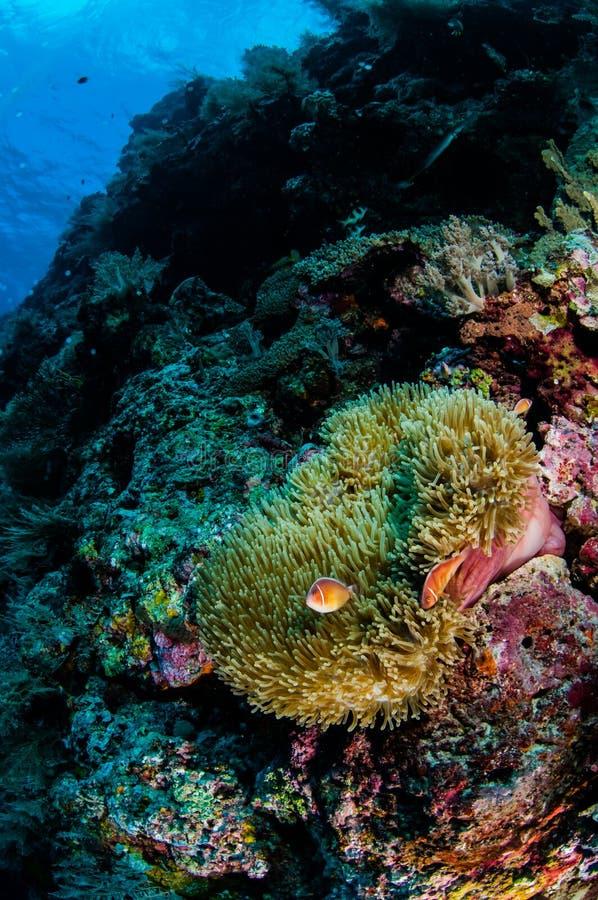 银莲花属, clownfish,软的珊瑚在Banda,印度尼西亚水下的照片 免版税库存照片