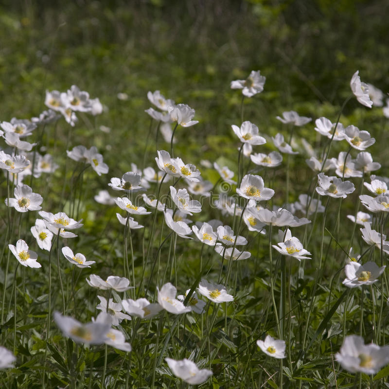 银莲花属绽放在春天 库存图片