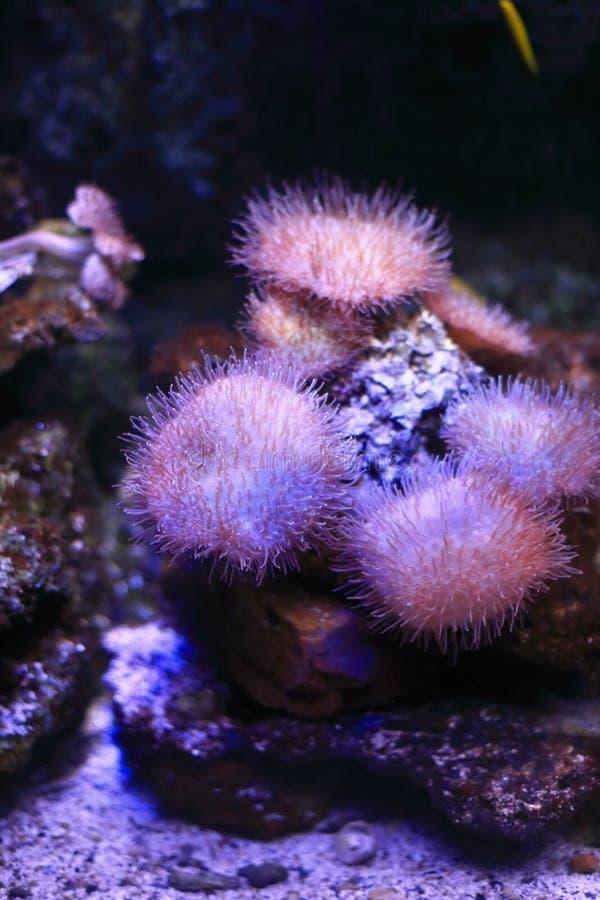 银莲花属水族馆没有被采取的海运通配 免版税图库摄影