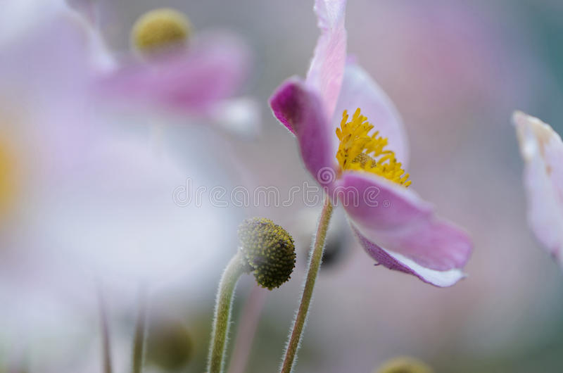 银莲花属 库存照片