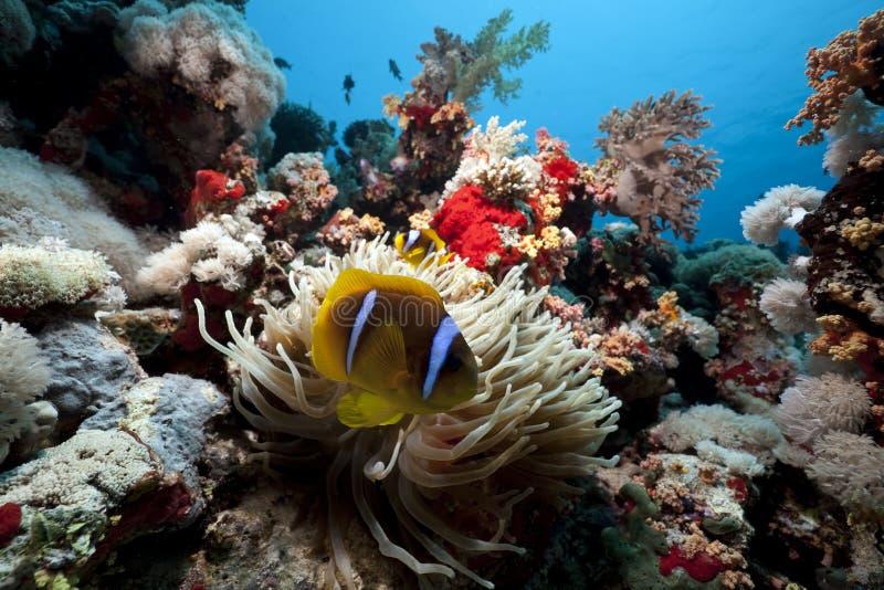 银莲花属anemonefish红海 免版税库存图片