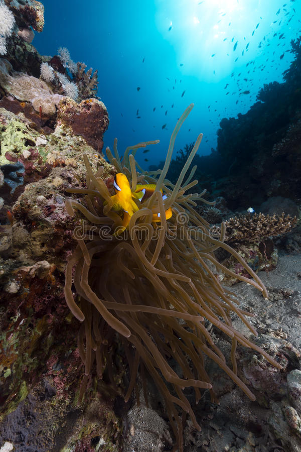 银莲花属anemonefish红海 库存照片