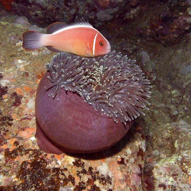 银莲花属clownfish吃 免版税库存照片