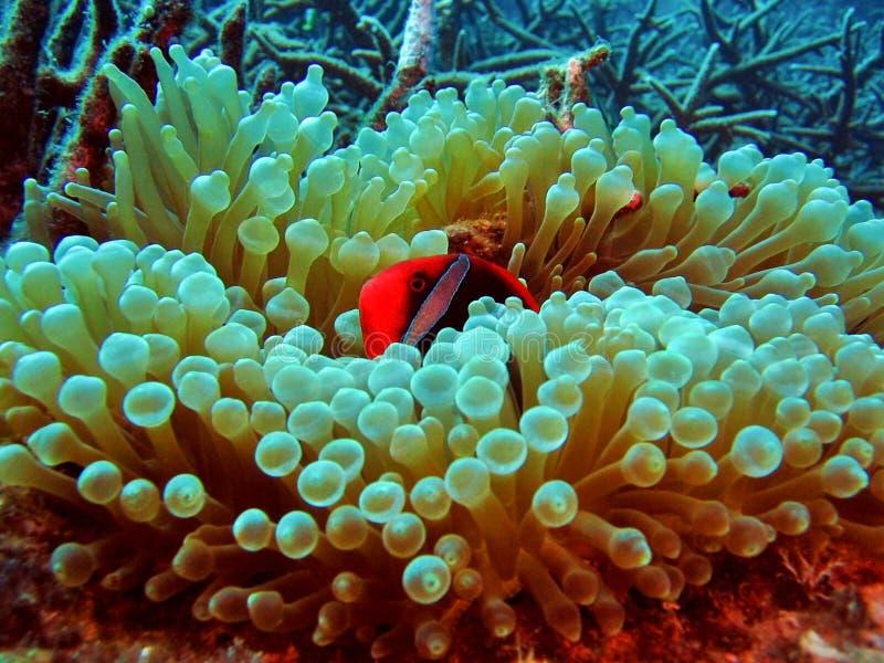 银莲花属clownfish珊瑚 免版税库存照片