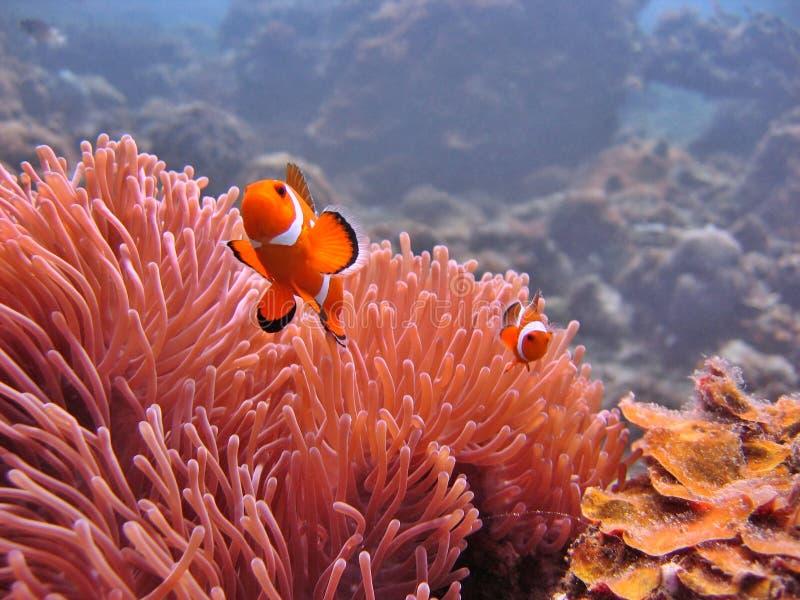 银莲花属clownfish 库存图片