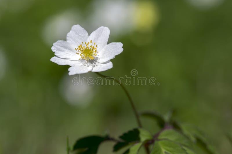 银莲花属nemorosa春天开花,五叶银莲花白花植物 库存照片