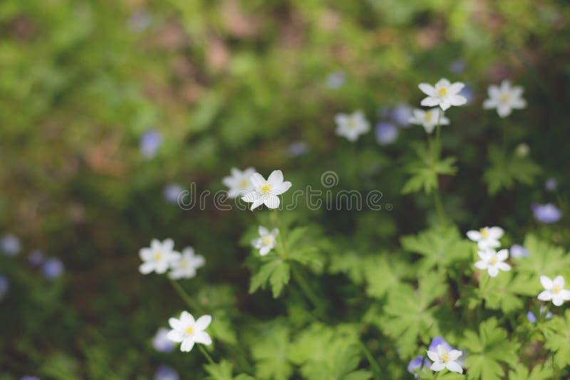 银莲花属nemorosa花在森林里在一好日子 狂放的银莲花属,白头翁,鹅掌草 免版税库存照片