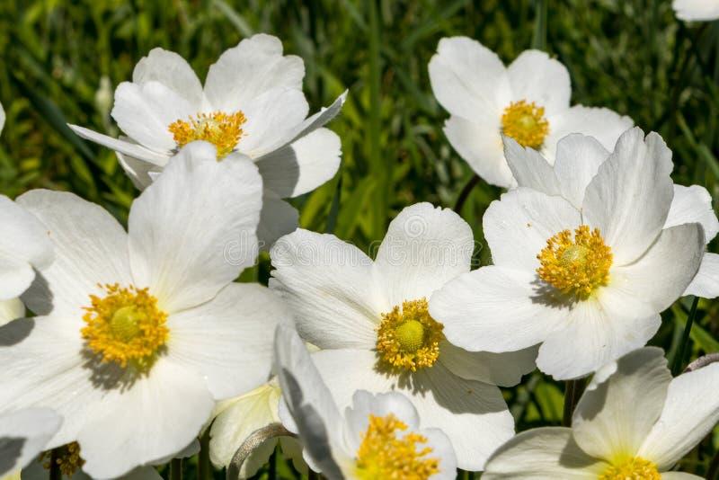 银莲花属Silvestris在剧情的一张花床上开了花 其中一朵第一朵春天花 库存图片
