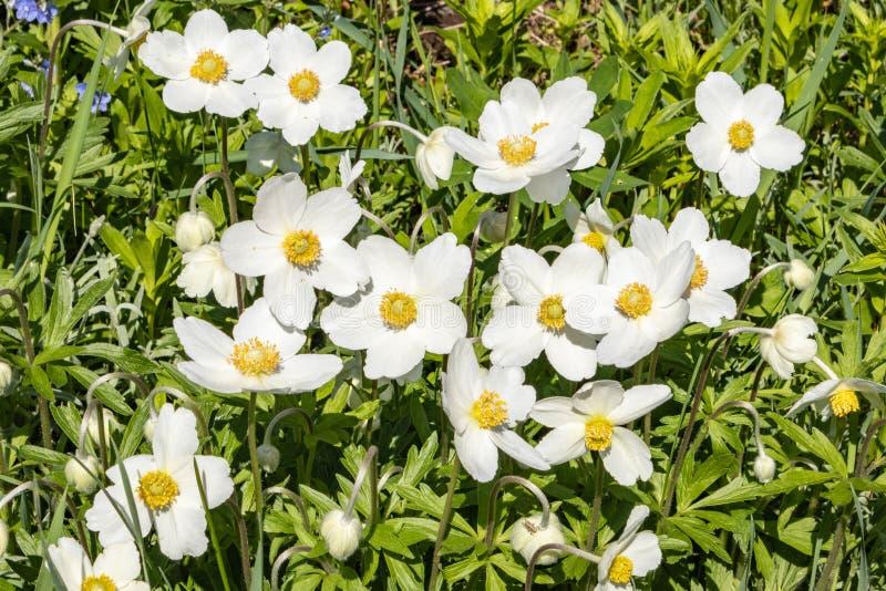 银莲花属Silvestris在剧情的一张花床上开了花 其中一朵第一朵春天花 图库摄影