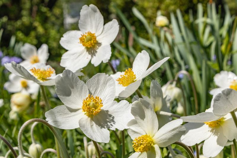银莲花属Silvestris在剧情的一张花床上开了花 其中一朵第一朵春天花 库存照片