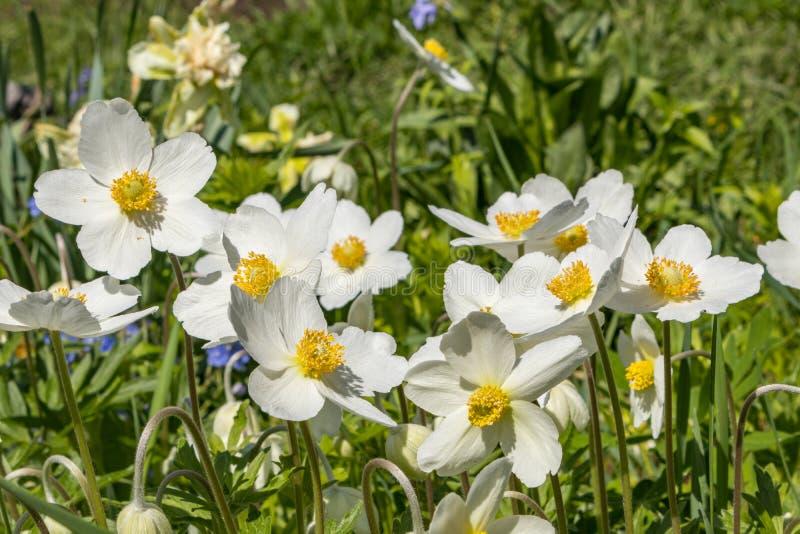 银莲花属Silvestris在剧情的一张花床上开了花 其中一朵第一朵春天花 免版税库存图片