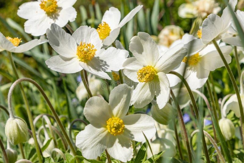 银莲花属Silvestris在剧情的一张花床上开了花 其中一朵第一朵春天花 免版税库存照片