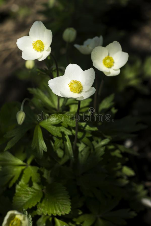 银莲花属sylvestris是一棵四季不断的植物开花在春天,白花的snowdrop银莲花属在植物园,背景里 库存照片