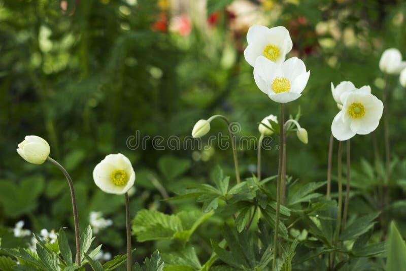 银莲花属sylvestris是一棵四季不断的植物开花在春天,白花的snowdrop银莲花属在植物园,背景里 免版税库存照片