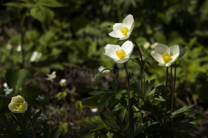 银莲花属sylvestris是一棵四季不断的植物开花在春天,白花的snowdrop银莲花属在植物园,背景里 免版税图库摄影