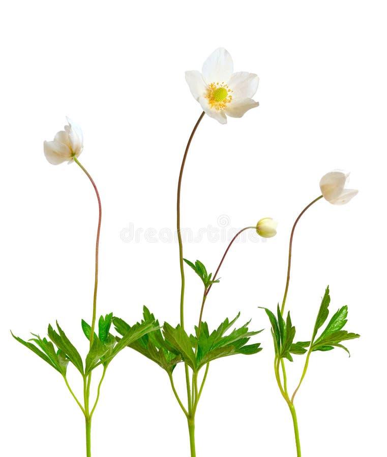 银莲花属sylvestris, snowdrop银莲花属 查出在白色 免版税图库摄影