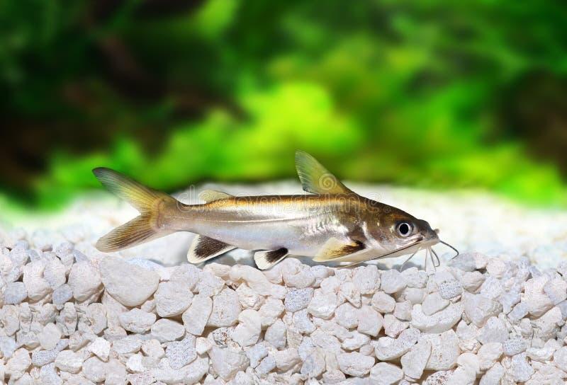 银被打翻的鲨鱼鲶鱼Ariopsis seemanni 免版税库存图片