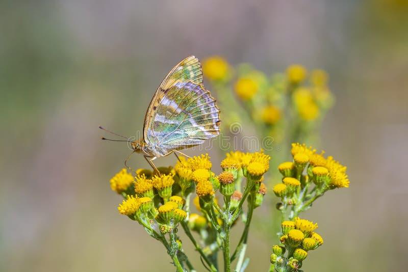 银被洗涤的贝母蝴蝶, Argynnis paphia,特写镜头 库存图片