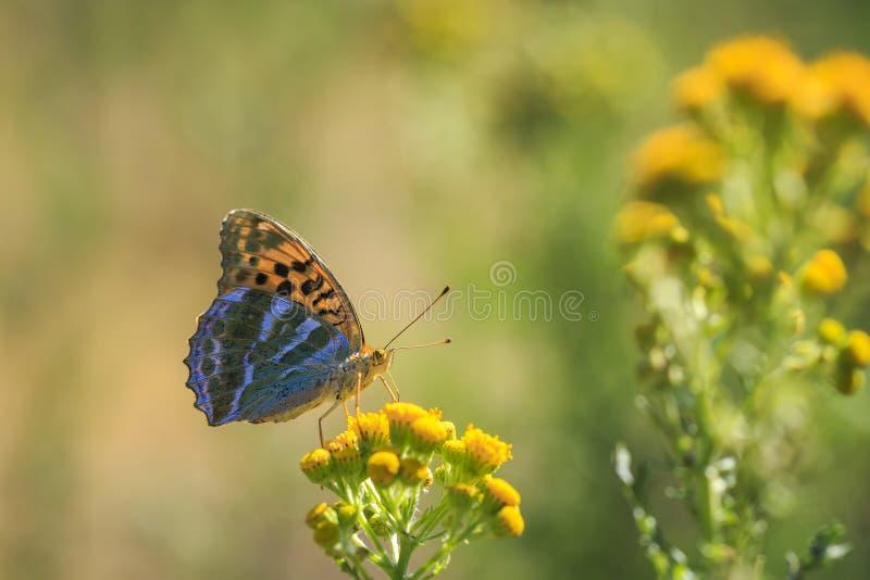 银被洗涤的贝母蝴蝶, Argynnis paphia,特写镜头 免版税库存照片
