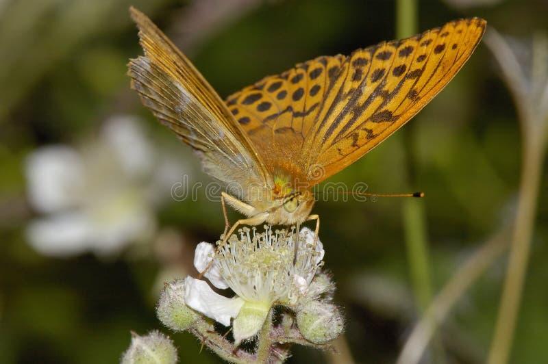 银被洗涤的贝母蝴蝶 免版税图库摄影