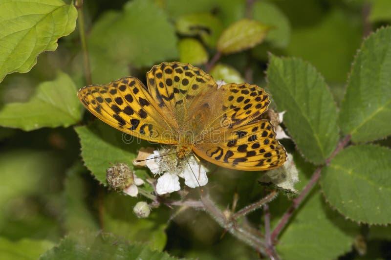 银被洗涤的贝母蝴蝶 图库摄影