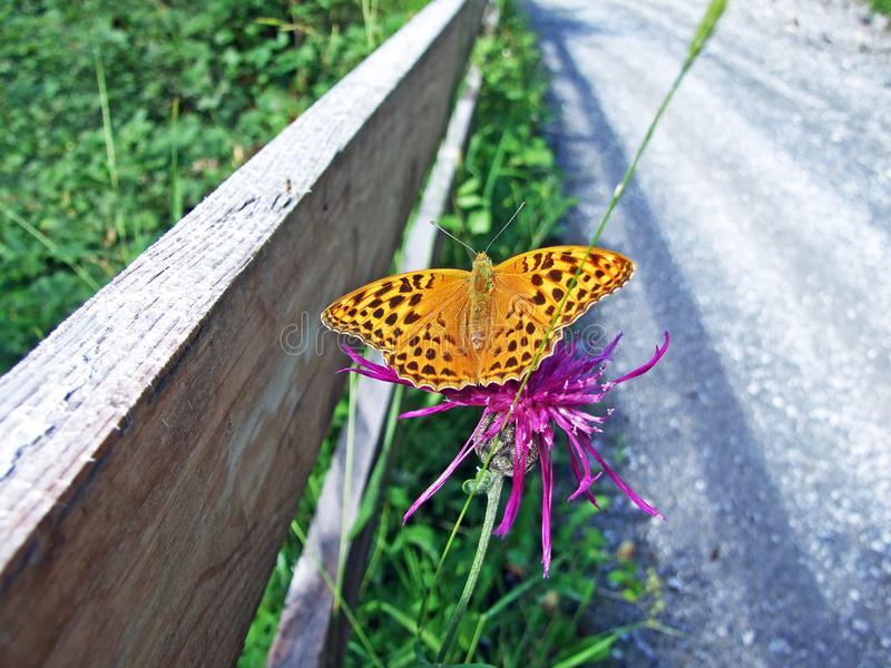 银被洗涤的贝母蝴蝶Argynnis paphia或范德默韦Kaisermantel奥得河Silberstrich Schmetterling 免版税库存照片