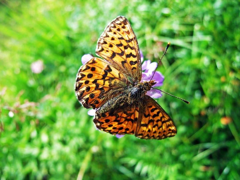 银被洗涤的贝母蝴蝶Argynnis paphia或范德默韦Kaisermantel奥得河Silberstrich Schmetterling 库存照片