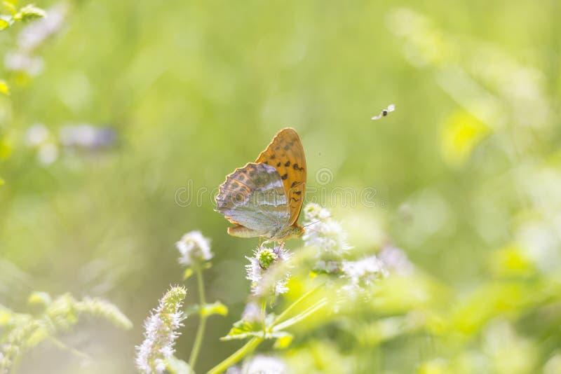 银被洗涤的贝母蝴蝶Argynnis paphia特写镜头 免版税库存照片