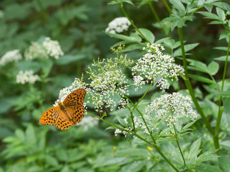 银被洗涤的贝母蝴蝶Argynnis paphia 免版税库存图片