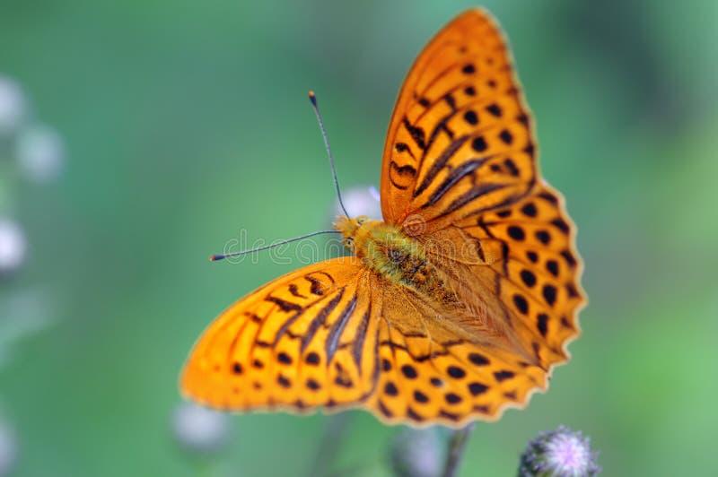 银被洗涤的贝母Argynnis paphia蝴蝶 库存照片