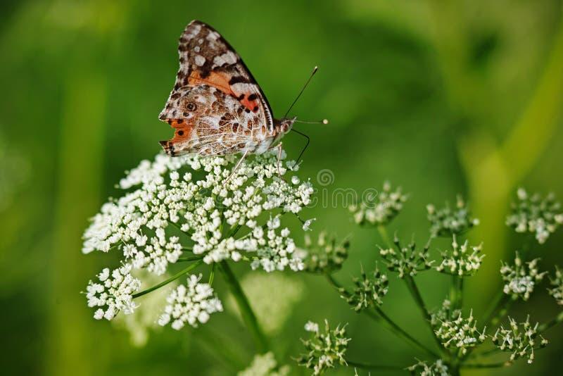 银被洗涤的贝母Argynnis paphia蝴蝶 库存图片