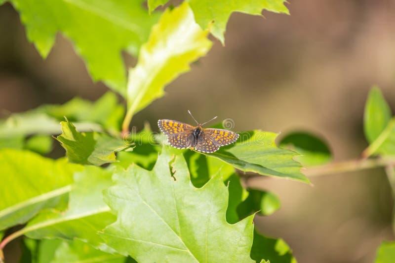 银被洗涤的贝母Argynnis paphia,男性 桔子被加点的蝴蝶 免版税库存图片