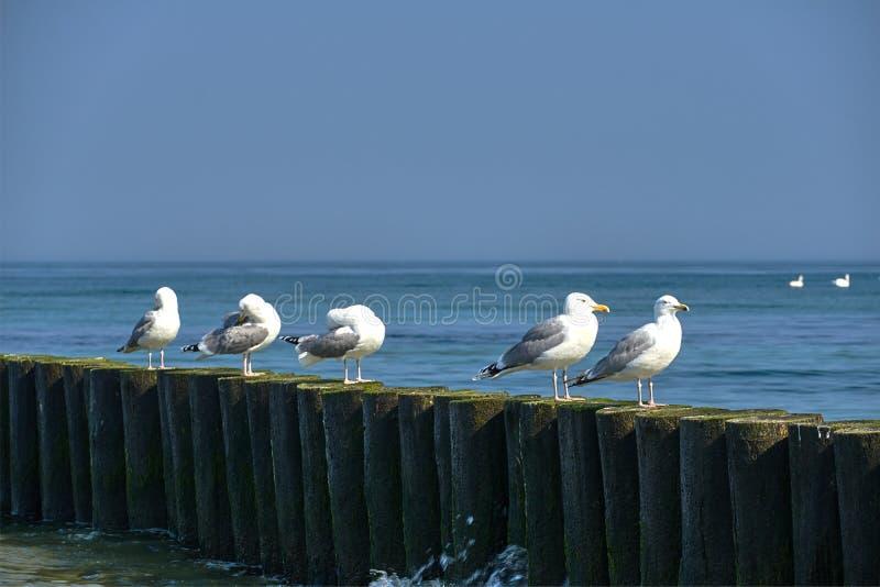 银鸥坐在波罗的海的海岸的一个木防堤 免版税库存照片