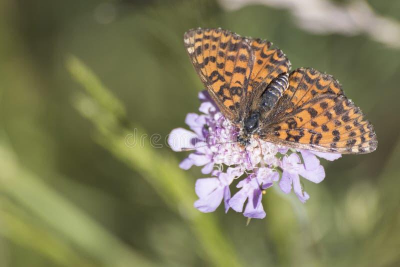 银 在一朵紫色花的被洗涤的详细的橙色蝴蝶 免版税库存照片