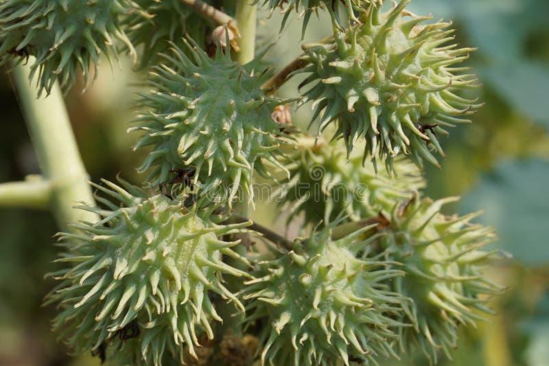 铸工结果实蓖麻草本种属的铸工叶子 免版税库存照片